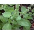 Tulsi Powder - 50 gm